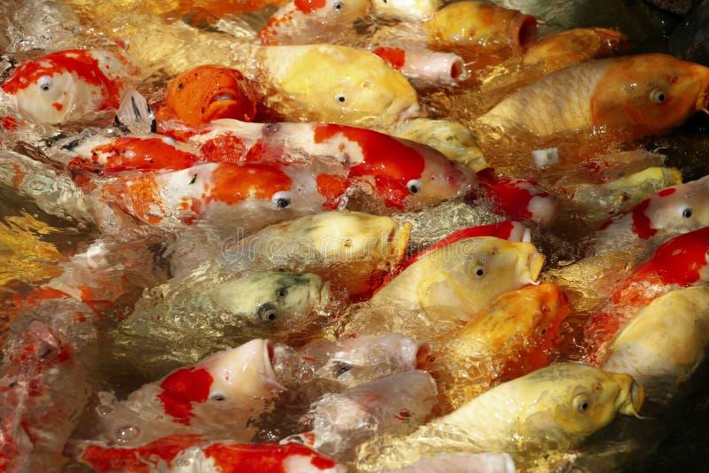 De Koivissen of Crap vissen bij vijver in de Tuin van Okayama Korakuen, dicht bij het Kasteel van Okayama, Okayama, JAPAN stock foto