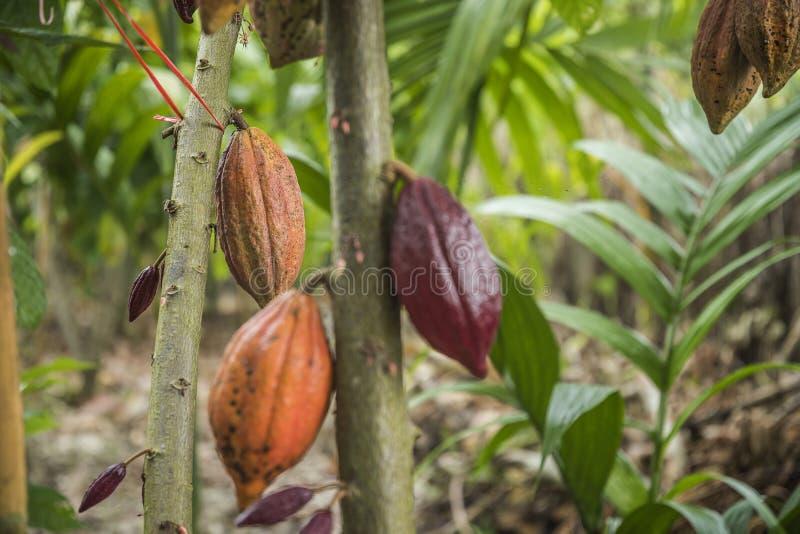 De kokosboom met vruchten De gele en groene Cacaopeulen groeien op de boom stock afbeelding