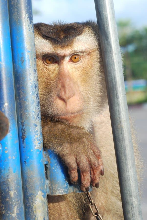 De Kokosnoot van Macaque van de aap ziet stock afbeeldingen