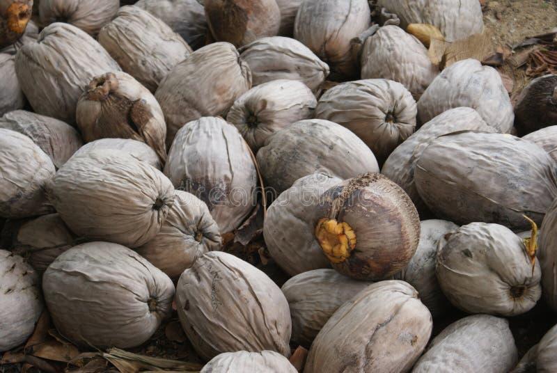 De Kokosnoten van Belize stock afbeeldingen