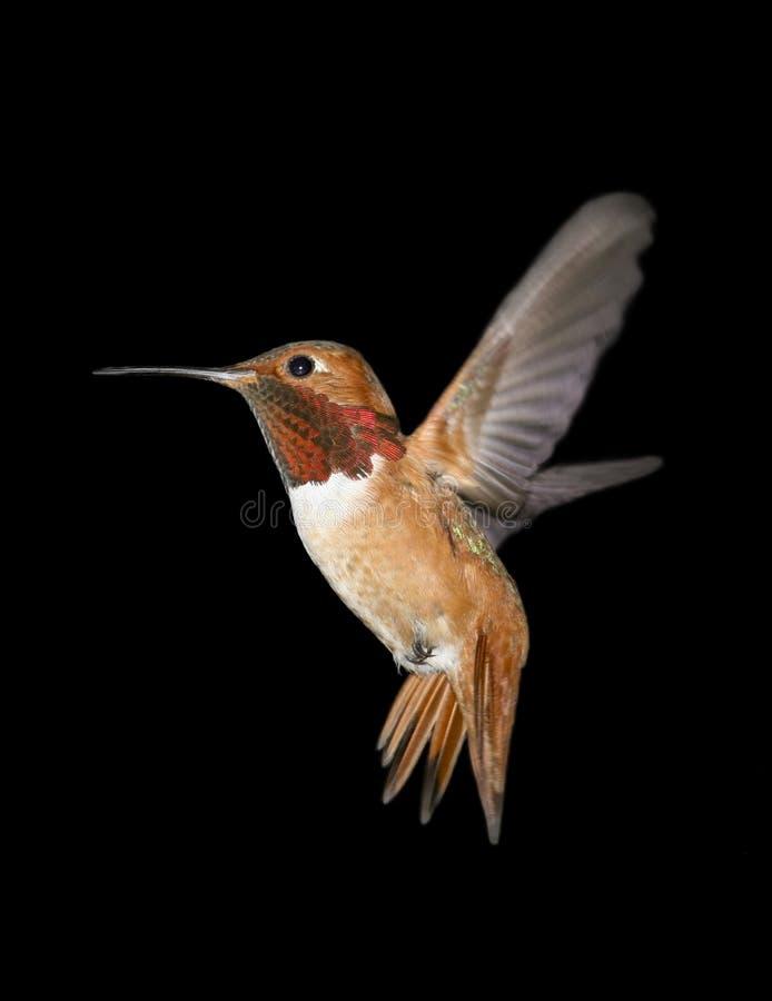 De Kolibrie van Allen stock afbeeldingen
