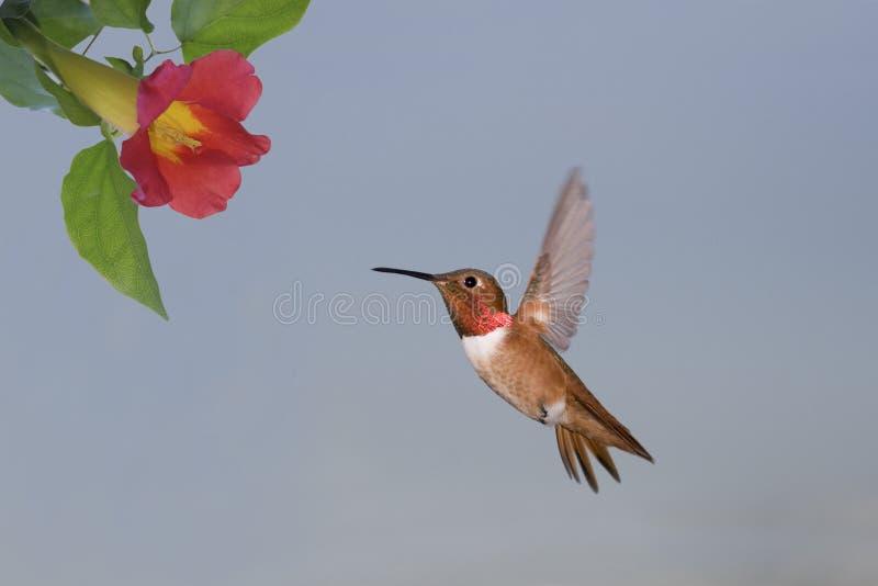 De Kolibrie van Allen royalty-vrije stock foto's