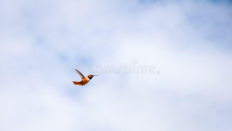 De Kolibrie van Allen het Mannelijke Hangen stock afbeelding