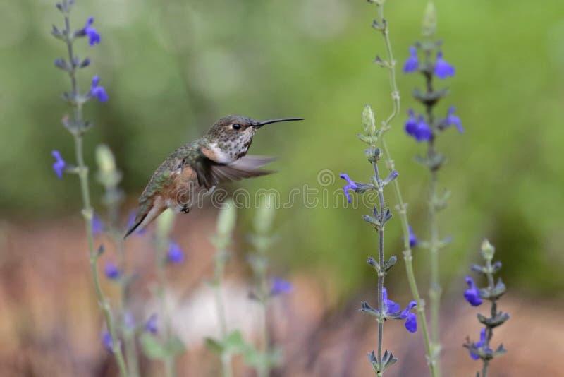 De kolibrie van Allen ` s royalty-vrije stock afbeelding