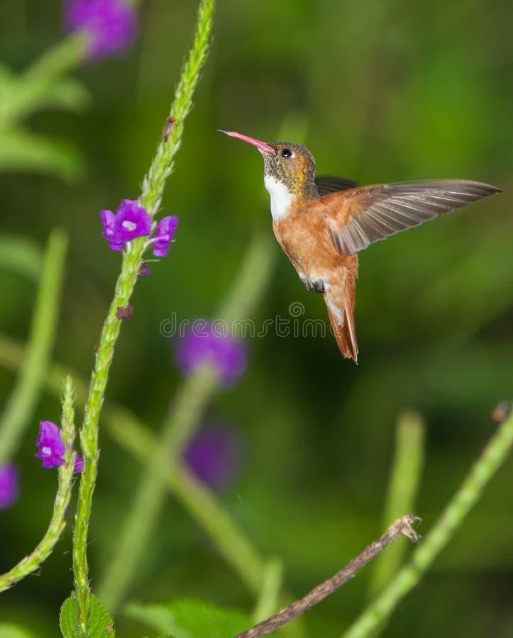 De Kolibrie van Amazilia stock foto