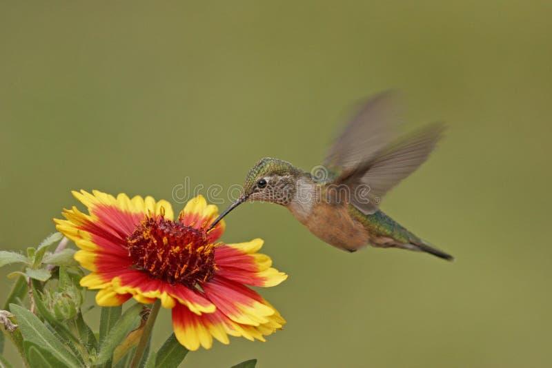 De kolibrie van Broadtailed royalty-vrije stock foto's