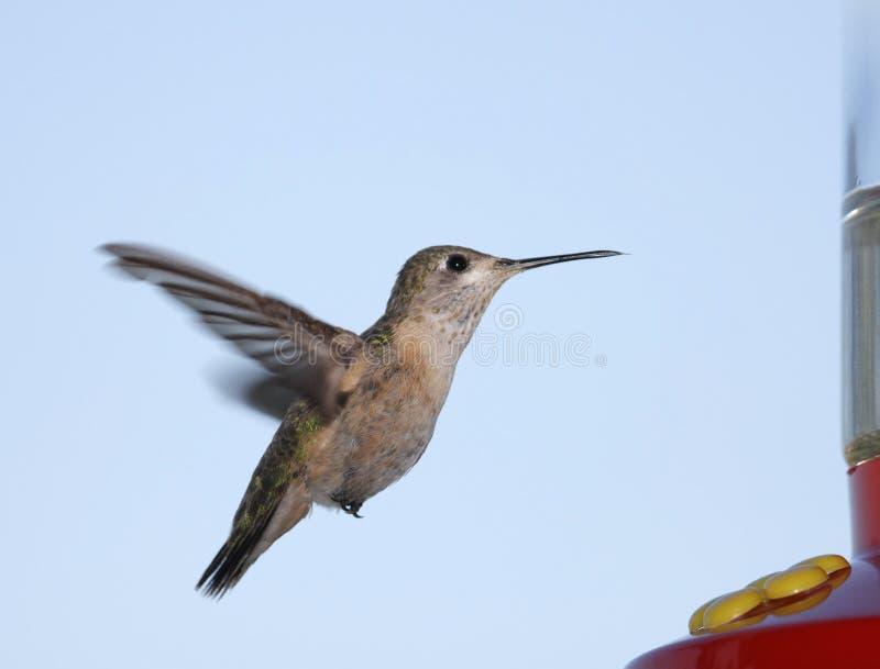 De Kolibrie van Calliope royalty-vrije stock afbeelding