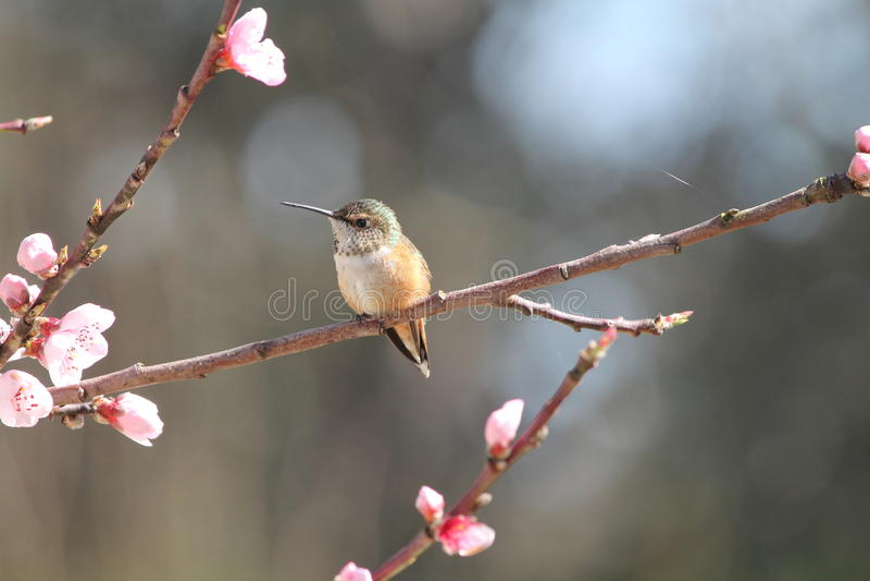 De kolibrie van Washington stock foto's