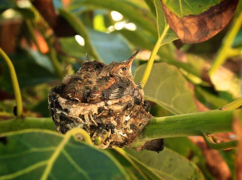De kolibriebabys nestelen royalty-vrije stock foto