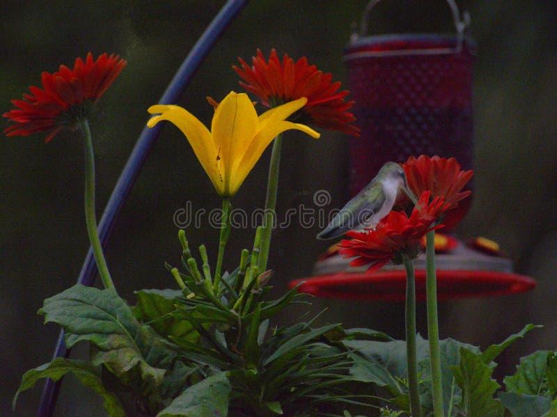 De kolibries zoals rode bloemen, worden maar ook aangetrokken naar andere kleuren stock foto