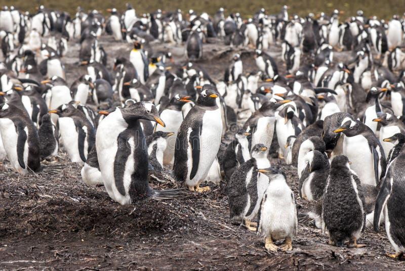 Download De Kolonie Van De Gentoopinguïn Na Regen Stock Afbeelding - Afbeelding bestaande uit breeding, eilanden: 39115879