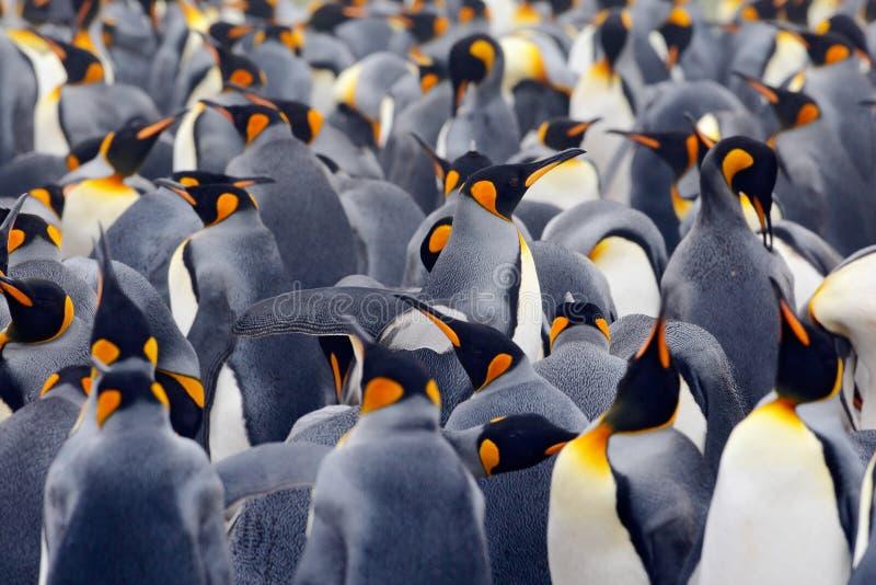 De kolonie van de koningspinguïn, vele vogels samen, in Falkland Islands stock foto's