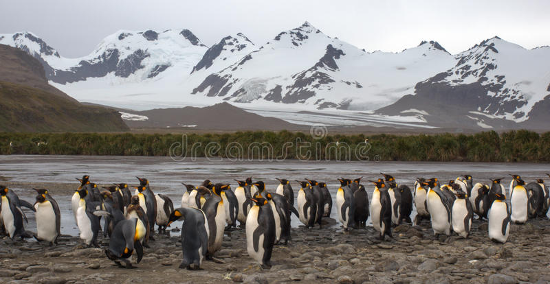 De kolonie van de koningspinguïn in Zuiden Georgia Antarctica stock foto's