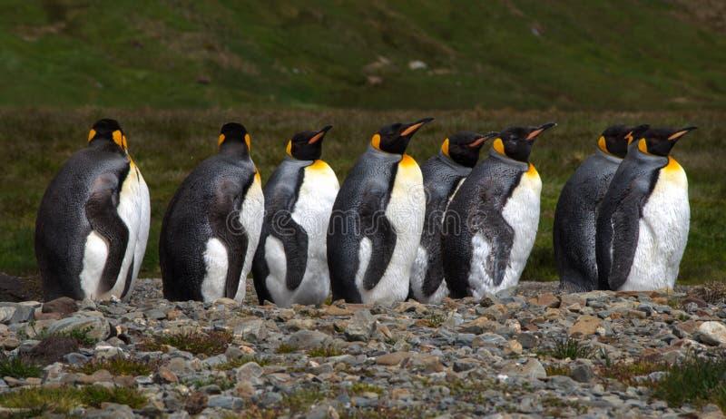 De kolonie van de koningspinguïn in Zuiden Georgia Antarctica royalty-vrije stock afbeelding