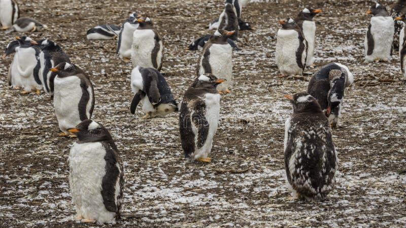 De Kolonie van Gentoopinguïnen op de Eilanden van de Falkland Eilanden stock foto