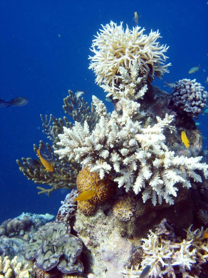 De kolonie van het koraal en koraalvissen. royalty-vrije stock afbeelding