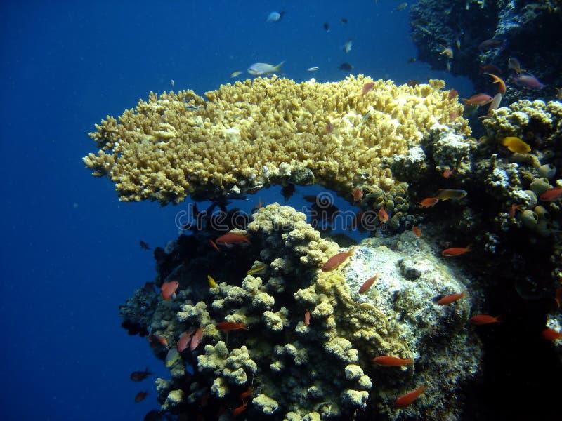 De kolonie van het koraal en koraalvissen. stock foto's