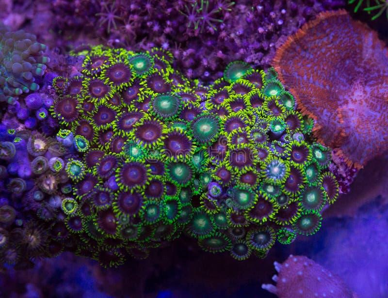 De kolonie van het Zoanthidkoraal stock afbeeldingen