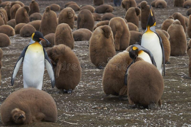 De Kolonie van de Pinguïn van de koning op de Falkland Eilanden stock afbeeldingen
