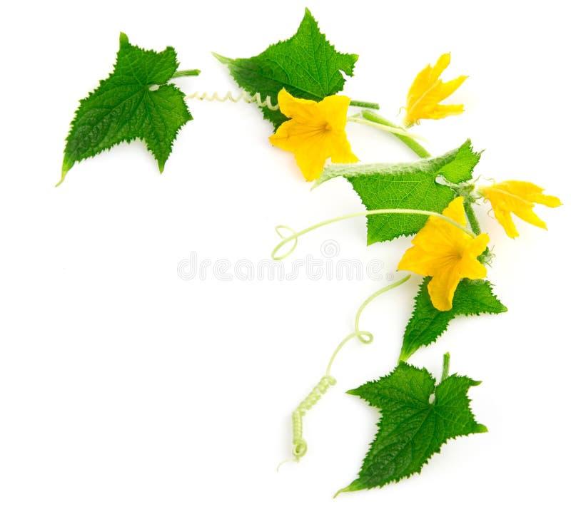De komkommerinstallatie van de tak met bloemen stock afbeeldingen