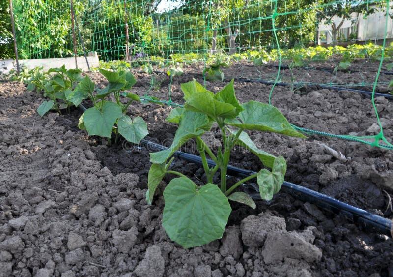 De komkommers worden gekweekt op druppelbevloeiing royalty-vrije stock foto's