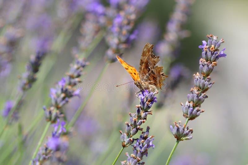 De Kommavlinder op een gebied van lavendel stock fotografie