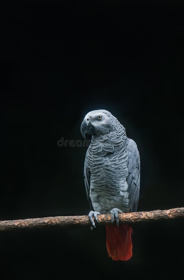 De Kongo Afrikaans Grey Parrot op tak in donkere achtergrond royalty-vrije stock foto