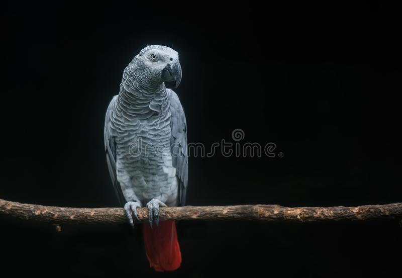 De Kongo Afrikaans Grey Parrot op tak in donkere achtergrond royalty-vrije stock fotografie