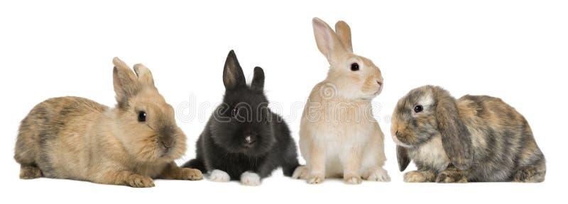 De konijnen die van het konijntje voor witte achtergrond zitten stock afbeelding