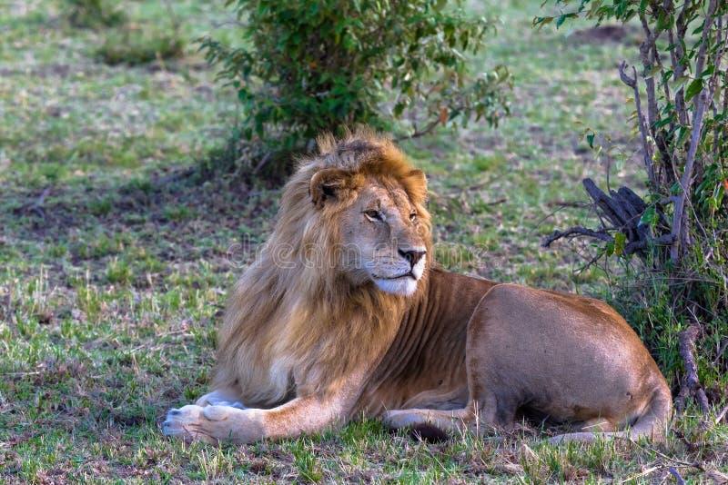 De koning op het gras Rust op het gras Kenia, Afrika stock afbeelding