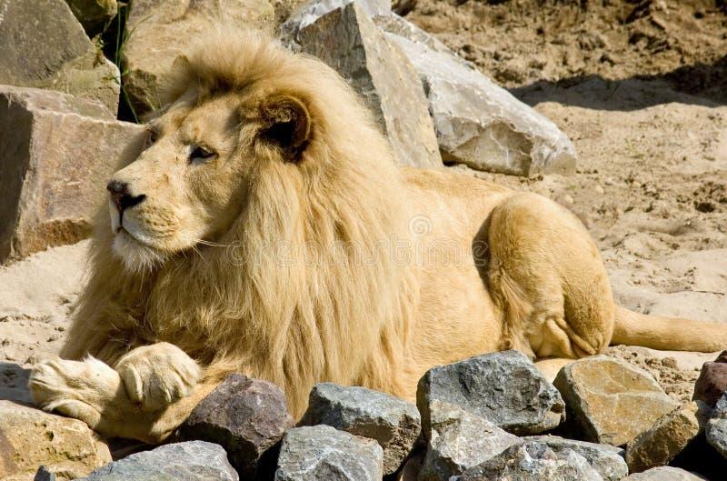 De koning van de Leeuw royalty-vrije stock afbeelding
