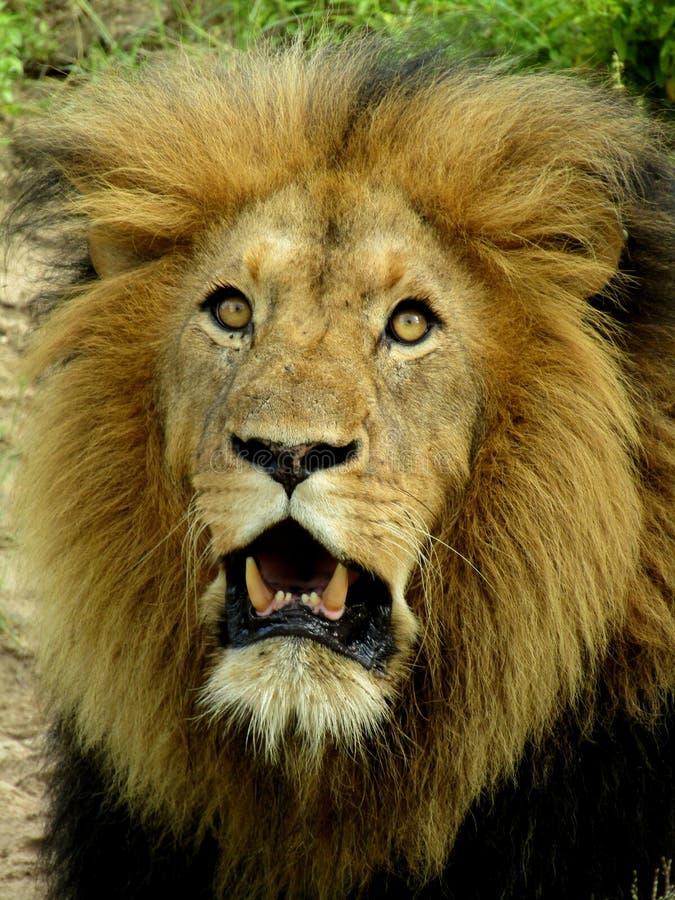 De koning van de wildernis stock fotografie