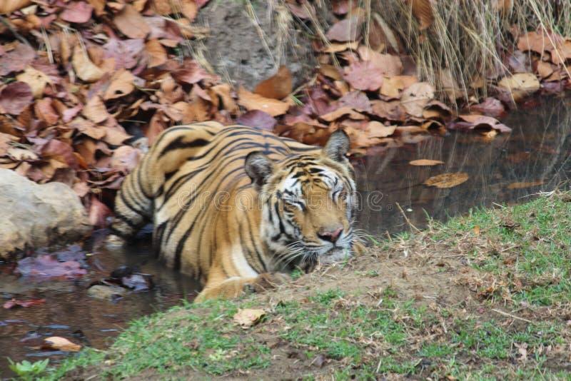 De koningin van tijgerinnen solo 'van de wildernis die in een stroom rust stock afbeeldingen
