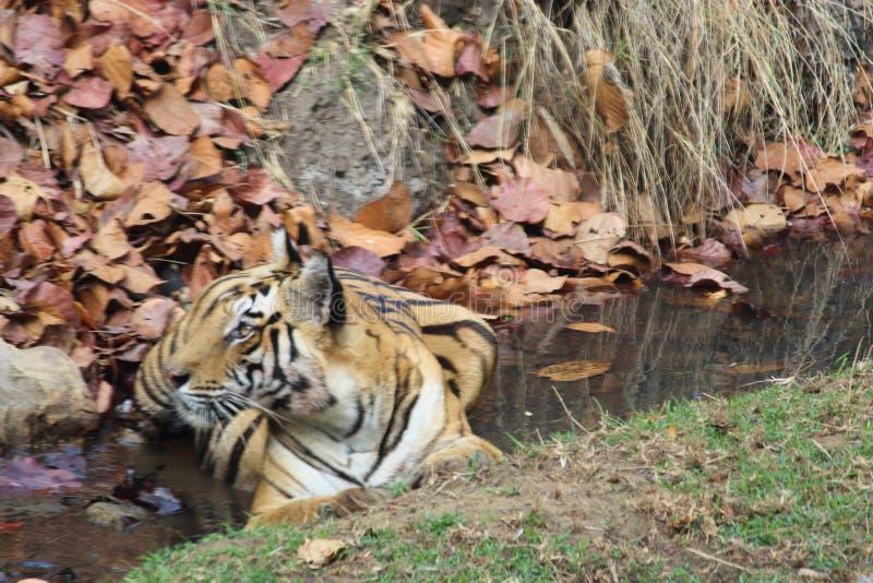 De koningin van tijgerinnen solo 'van de wildernis die in een stroom rusten stock afbeelding