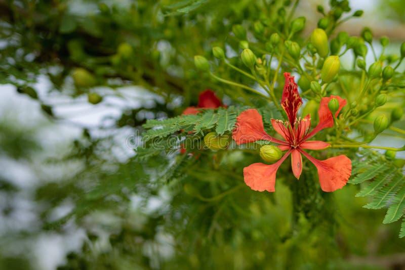 De koninklijke bloei van de poinciana rode bloem stock foto's