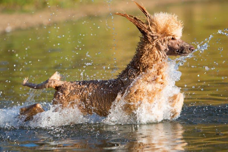 De koninklijke poedel zwemt in een meer royalty-vrije stock afbeeldingen