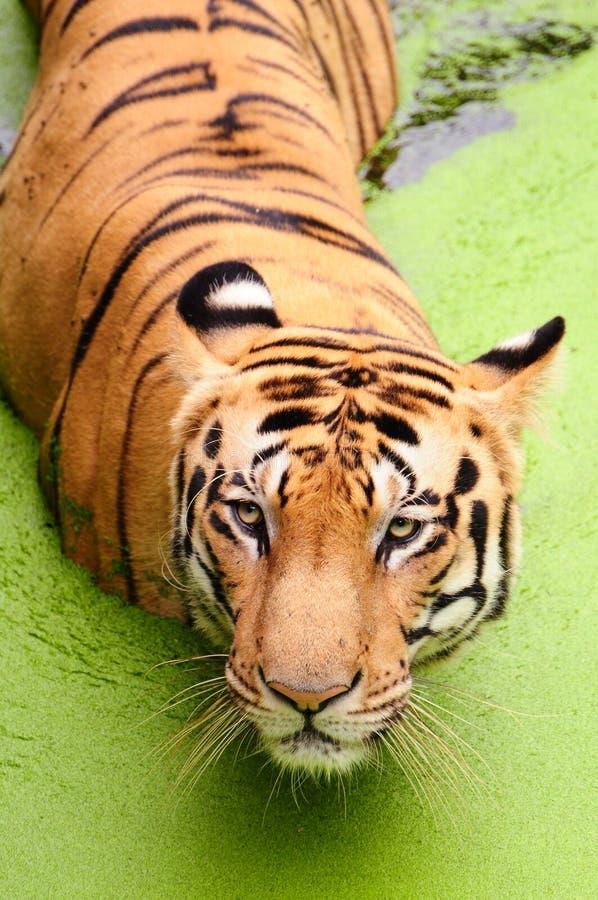 De koninklijke Tijger van Bengalen royalty-vrije stock foto