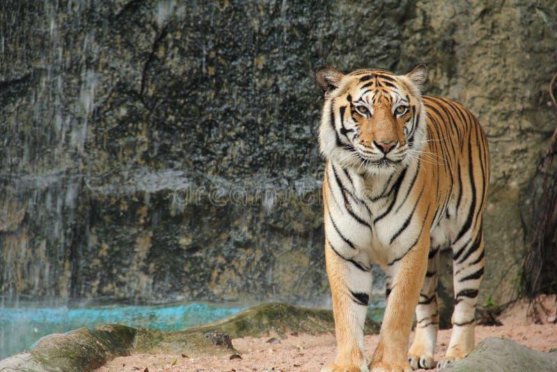 De koninklijke tijger van Bengalen royalty-vrije stock afbeeldingen