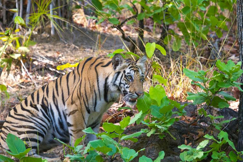 De koninklijke tijger van Bengalen van ranthambore nationaal park India royalty-vrije stock foto's