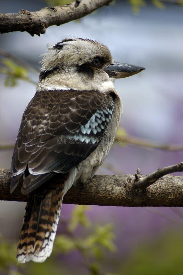 Download De Kookaburra van de lente stock foto. Afbeelding bestaande uit boom - 294750