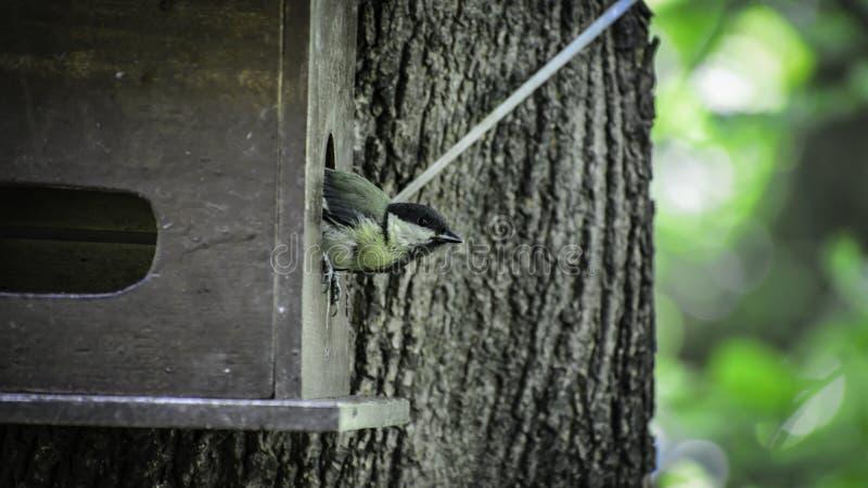 De koolmees & x28; parus major& x29; zit op gat in vogelvoeder en bekijkt bomen stock afbeeldingen