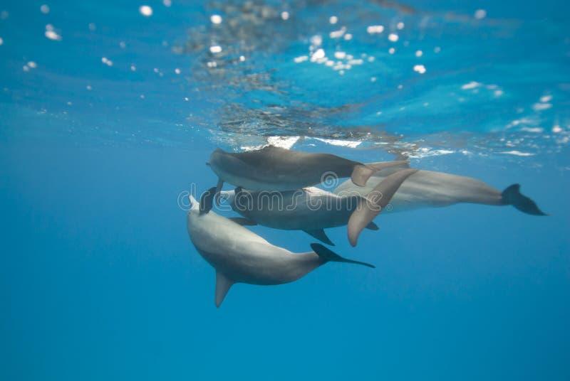 De koppelende dolfijnen van de Spinner in de wildernis. royalty-vrije stock afbeelding
