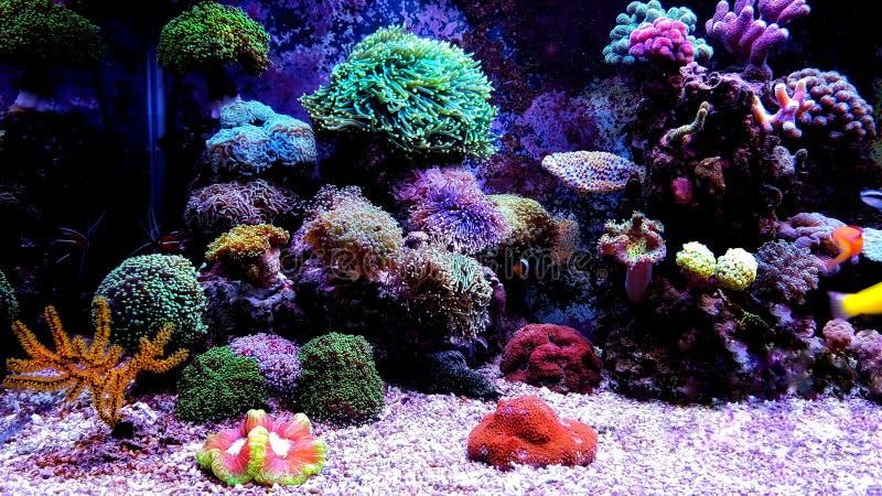 De koralen van Euphylliaspecies LPS in zoutwateraquarium stock afbeelding