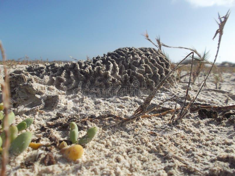 De koralen zijn opgeblazen om wordt aan begraven te ontsnappen levend in het zand stock foto