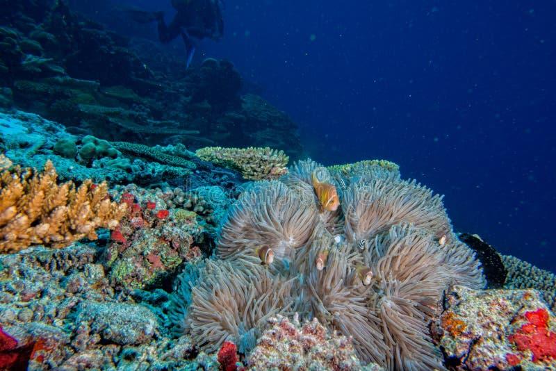 De koralenhuis van de Maldiven voor clown Fishes stock afbeeldingen