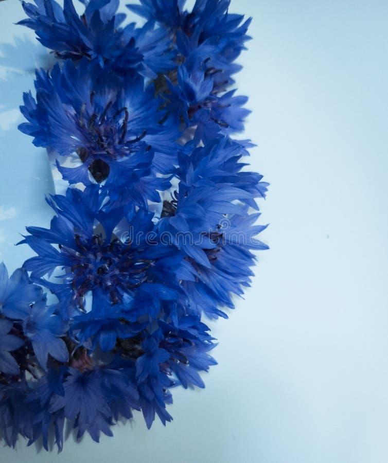 De korenbloemen blauwe tuin van de zomerbloemen royalty-vrije stock afbeeldingen
