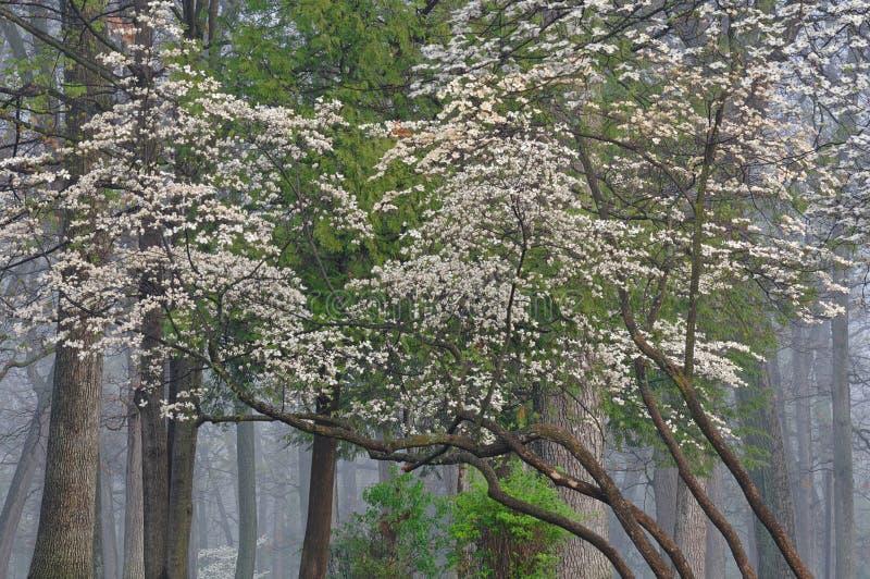 De Kornoelje van de lente royalty-vrije stock afbeelding