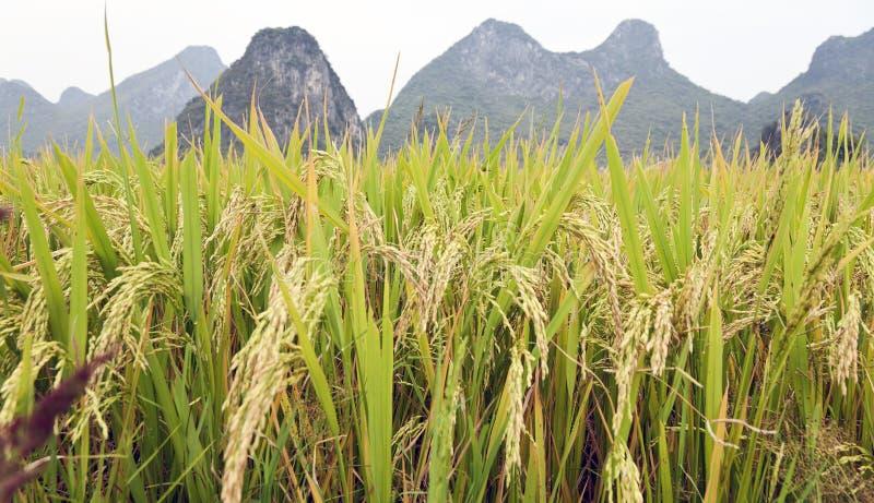 De korrels van de rijst in Guilin royalty-vrije stock foto's
