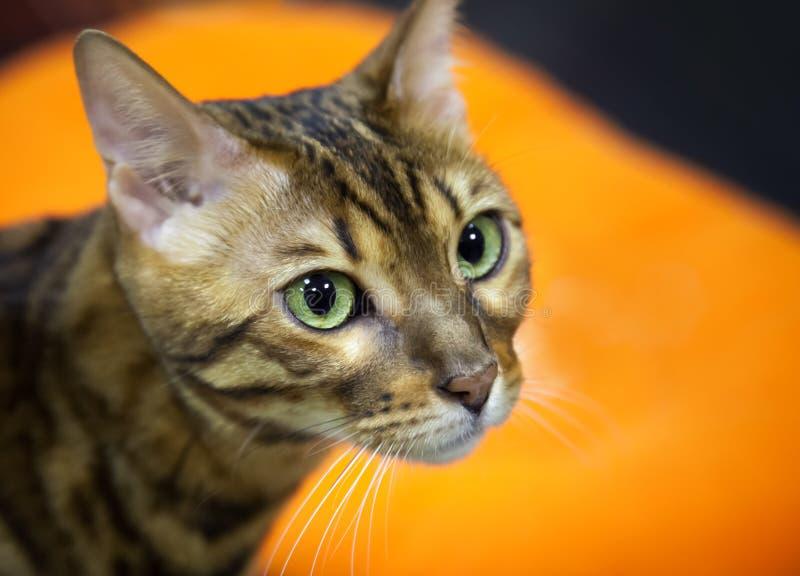 Download De Kortharige Binnenlandse Kat Van Bengalen Stock Afbeelding - Afbeelding bestaande uit groen, kitty: 29507227