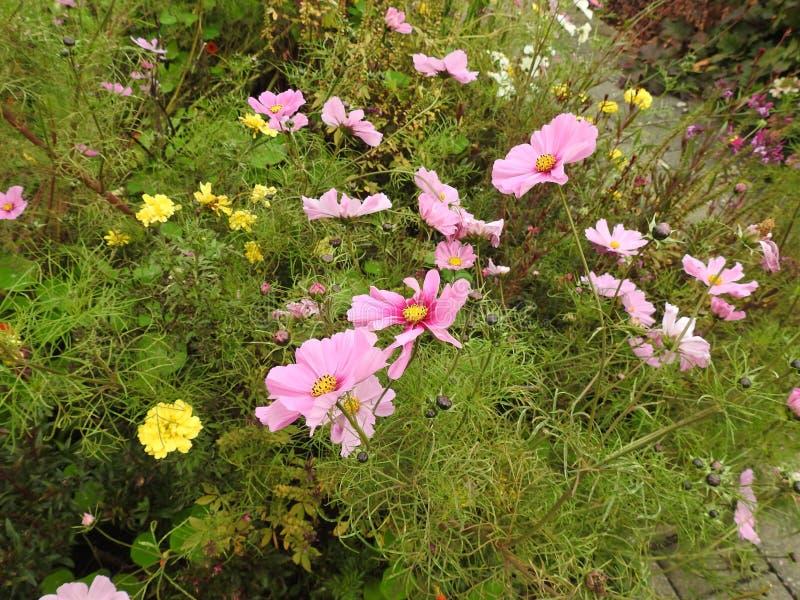De kosmosbloem is een gevoelige installatie die gemakkelijk een tuin door zijn vele bloemen door de zomer verfraait royalty-vrije stock afbeeldingen